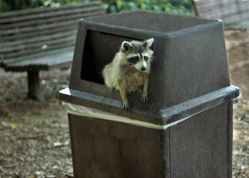 Raccoon peeking out of a trashcan
