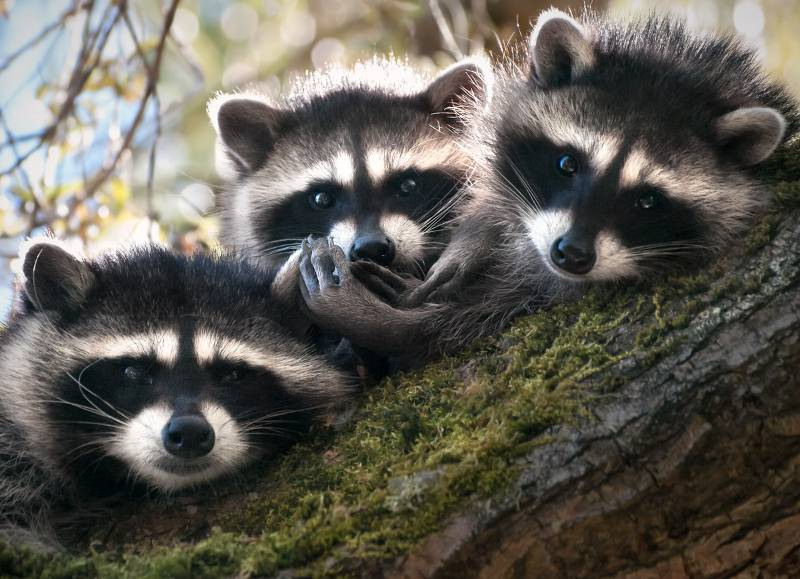 Three small raccoons in a tree