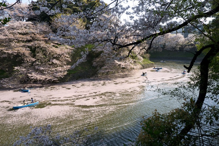 japanese sakura in a river
