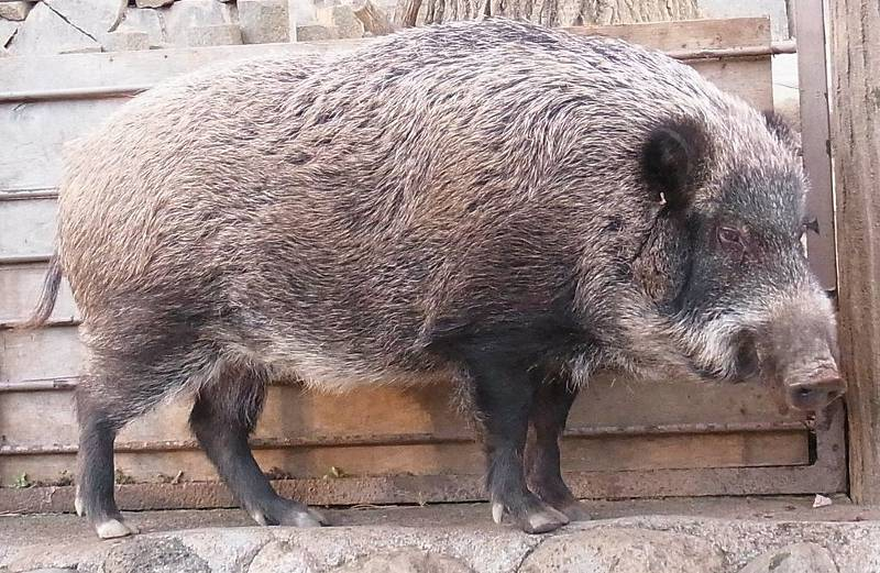 Real wild boar leaning against a wall
