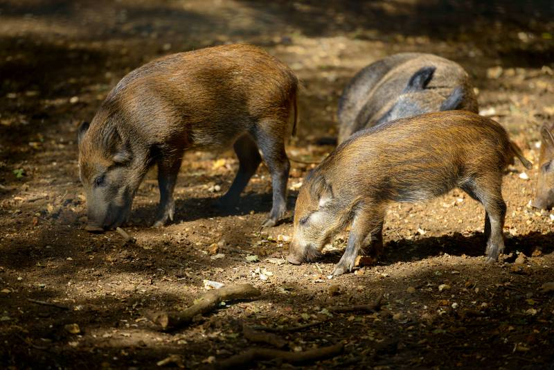 Young wild boars smelling the ground