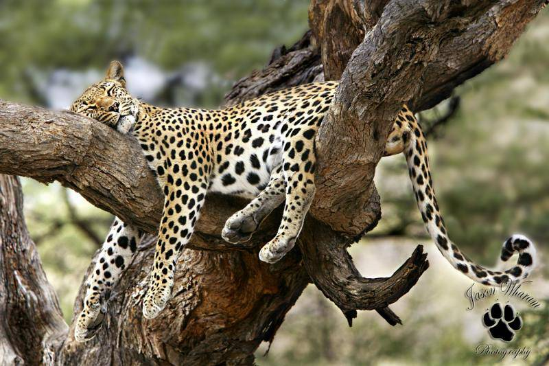 leopard stretched out and napping on tree branch