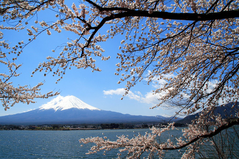 mt fuji and sakura together
