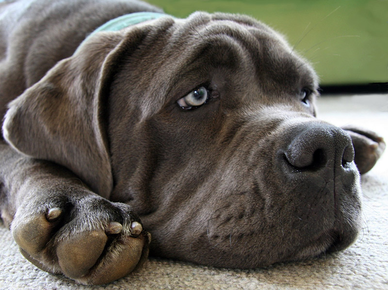A morose looking neapolitan mastiff