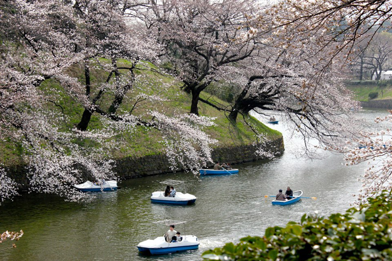 chiyoda cherry blossoms japanese citizen study abroad