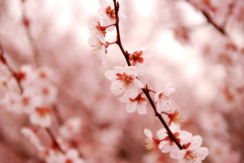 cherry blossom branch in japan