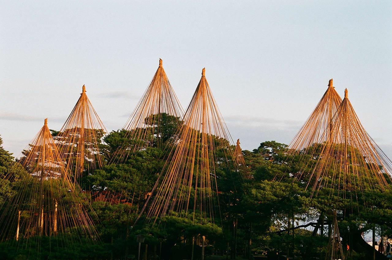 karasaki pine trees exemplifying wabi-sabi