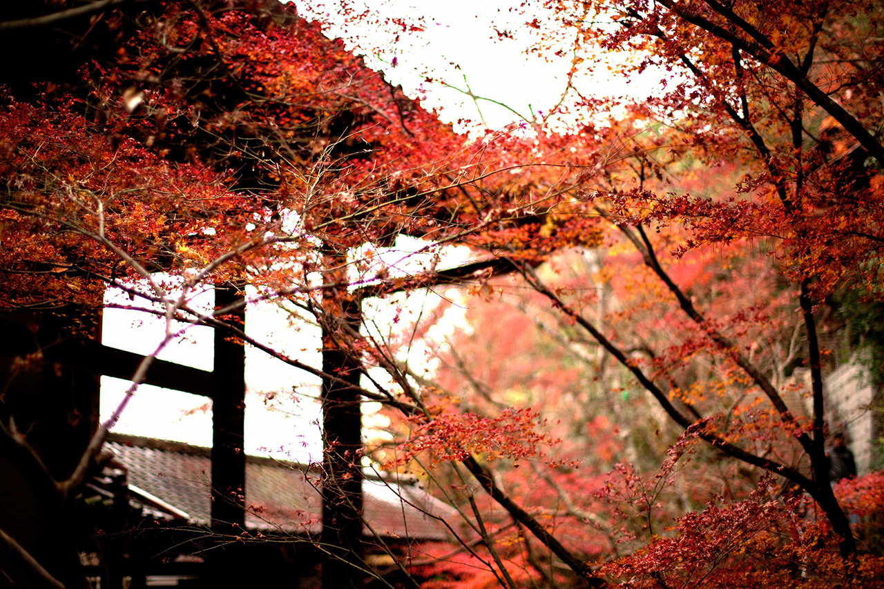 red maple leaves at a japanese temple