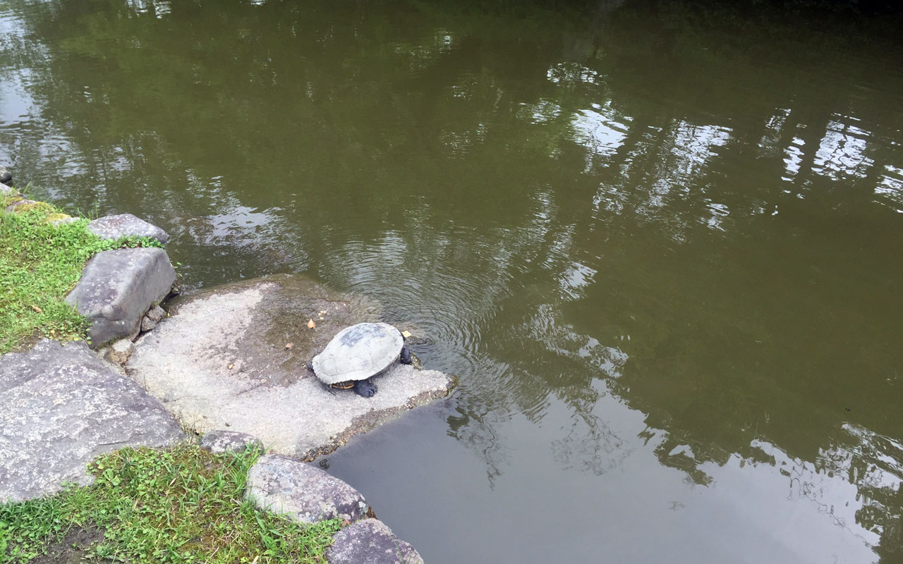 turtle sitting by the kamogawa