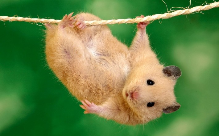 A mouse hanging from a rope