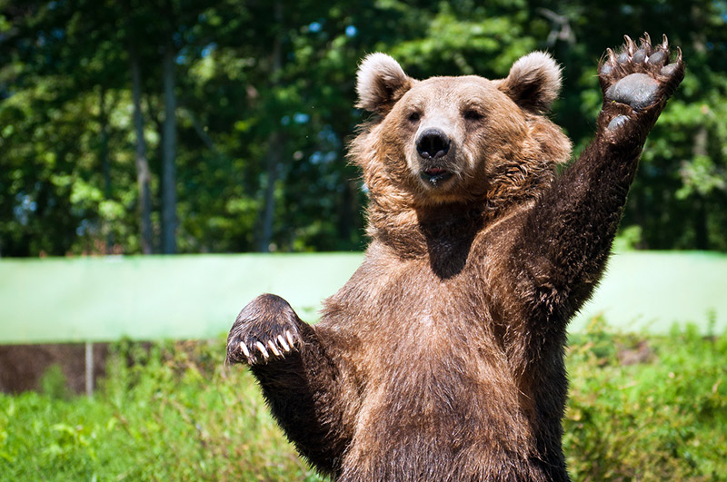 brown bear with raised paw