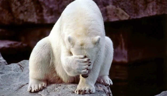 polar bear covering its face with paw