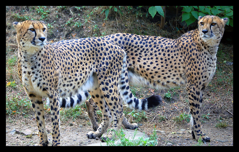 kobun adjectives two cheetahs