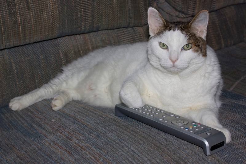white cat with remote on sofa