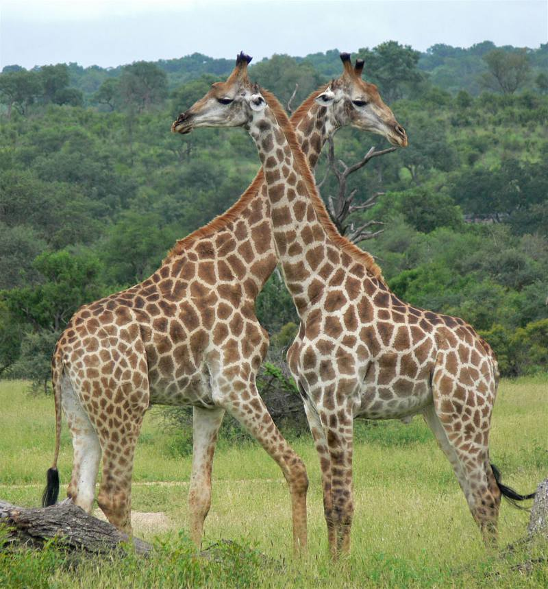 two giraffes crossing necks