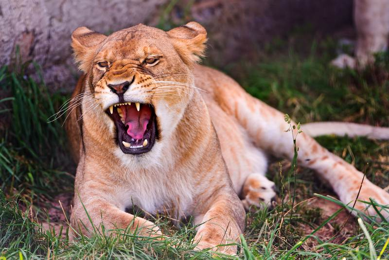 lion with open mouth