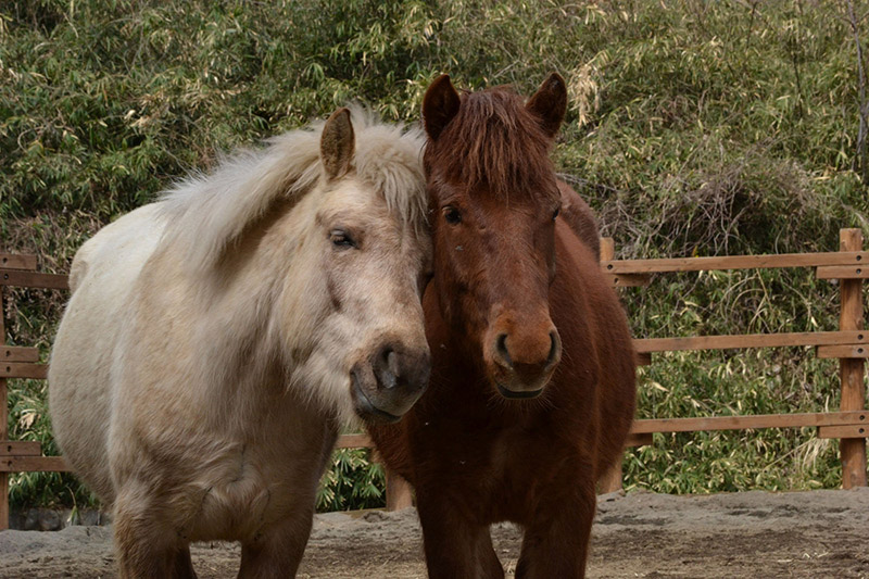 white and brown shaggy horses