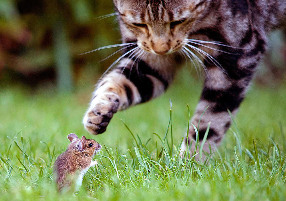cat attacking mouse in field