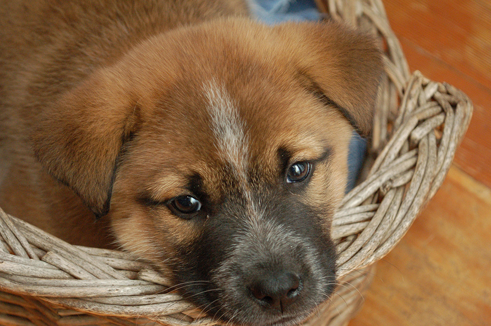 brown puppy in a basket