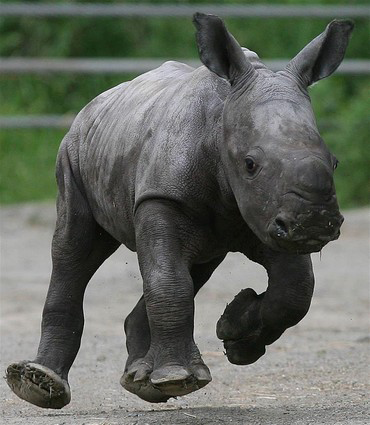 A little rhino sprinting