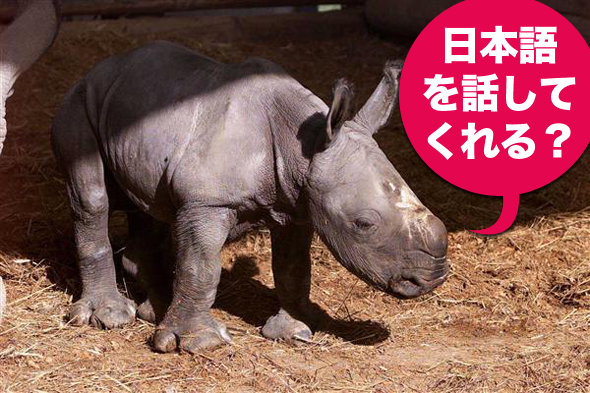A baby rhino with a Japanese speech bubble