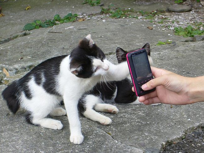 cat swatting at cell phone