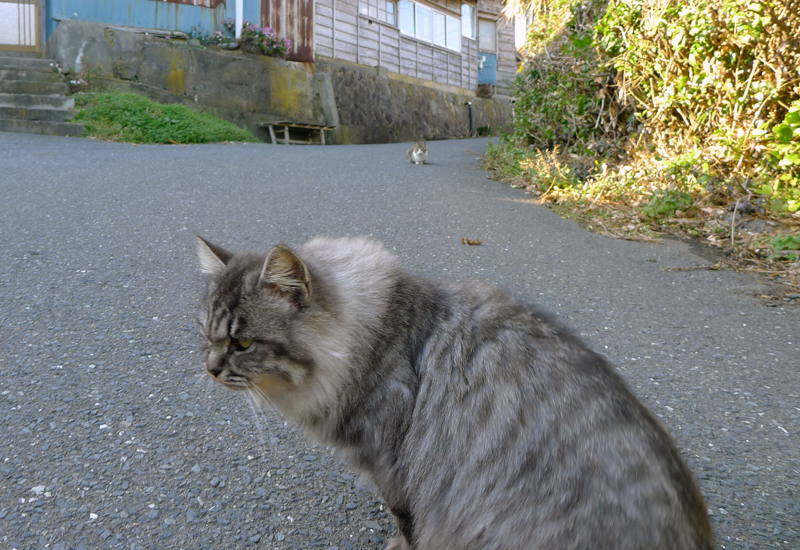 gray fluffy cat on tashirojima
