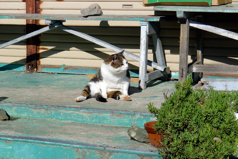 calico cat in the sun