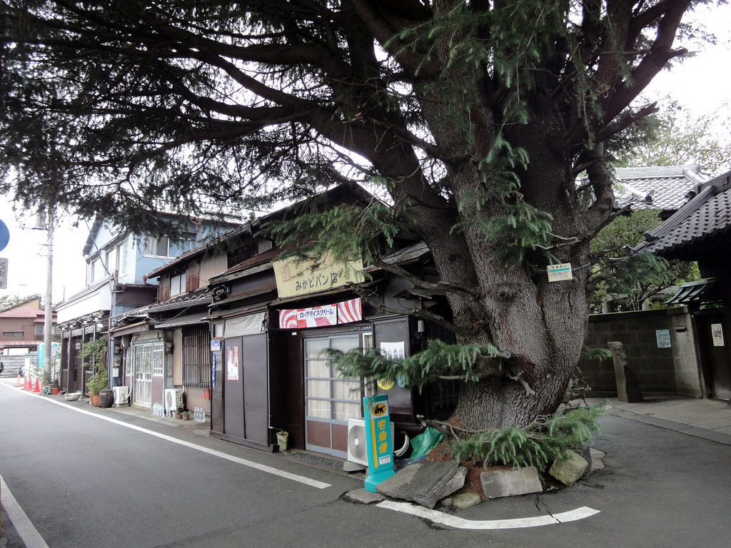 tree growing up through pavement in Japanese neighborhood