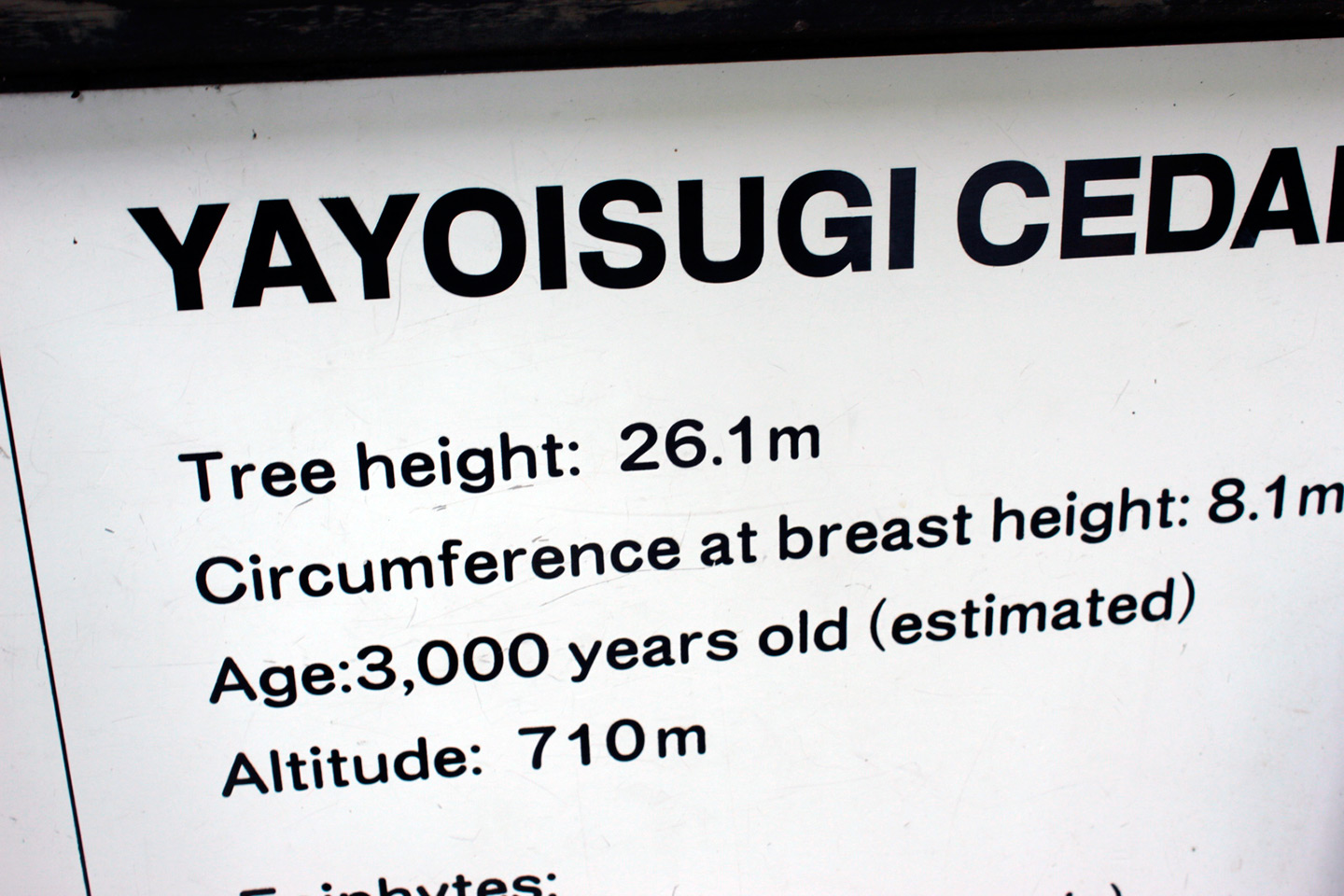 yayoisugi cedar tree sign with informartion