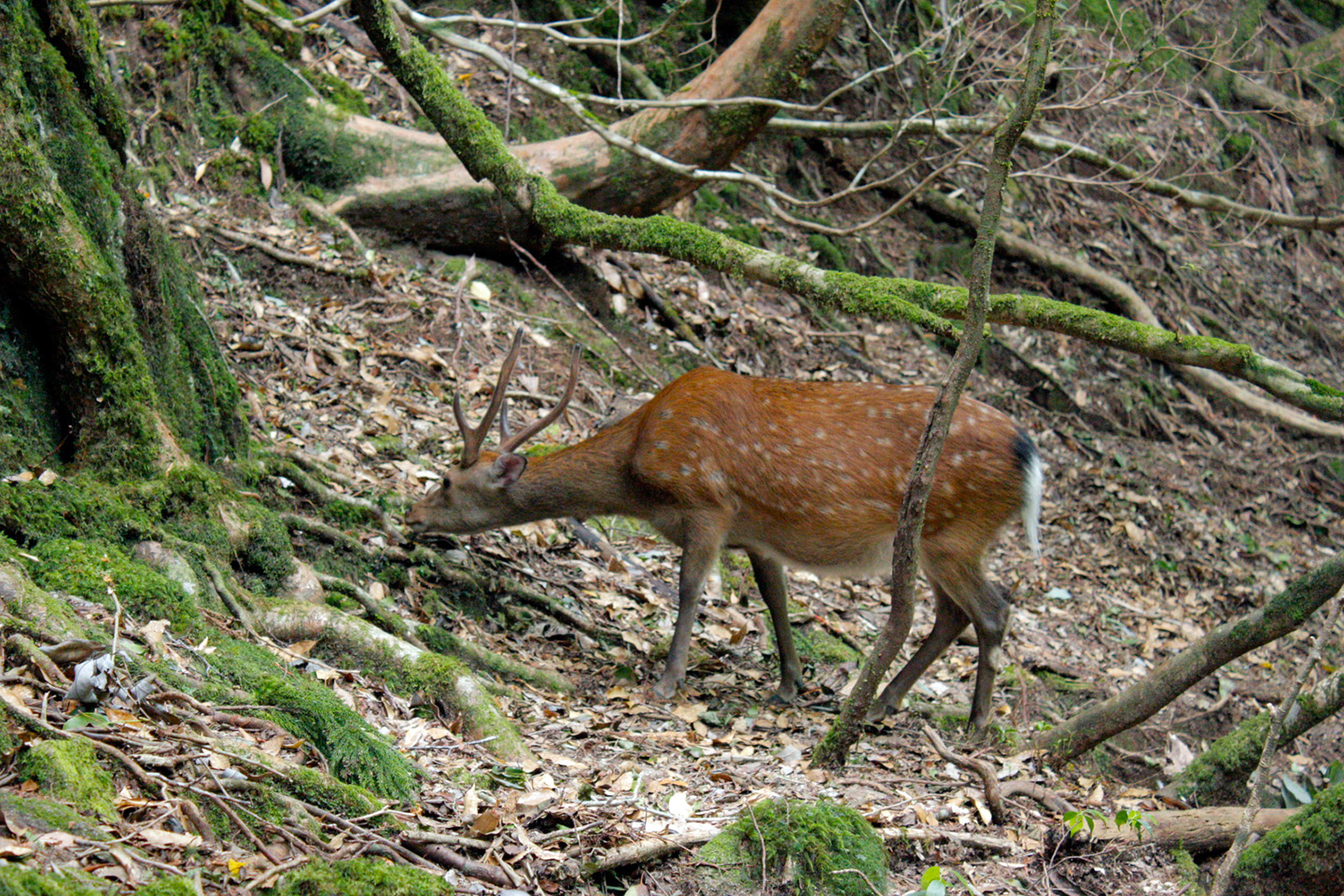 deer eating in forest