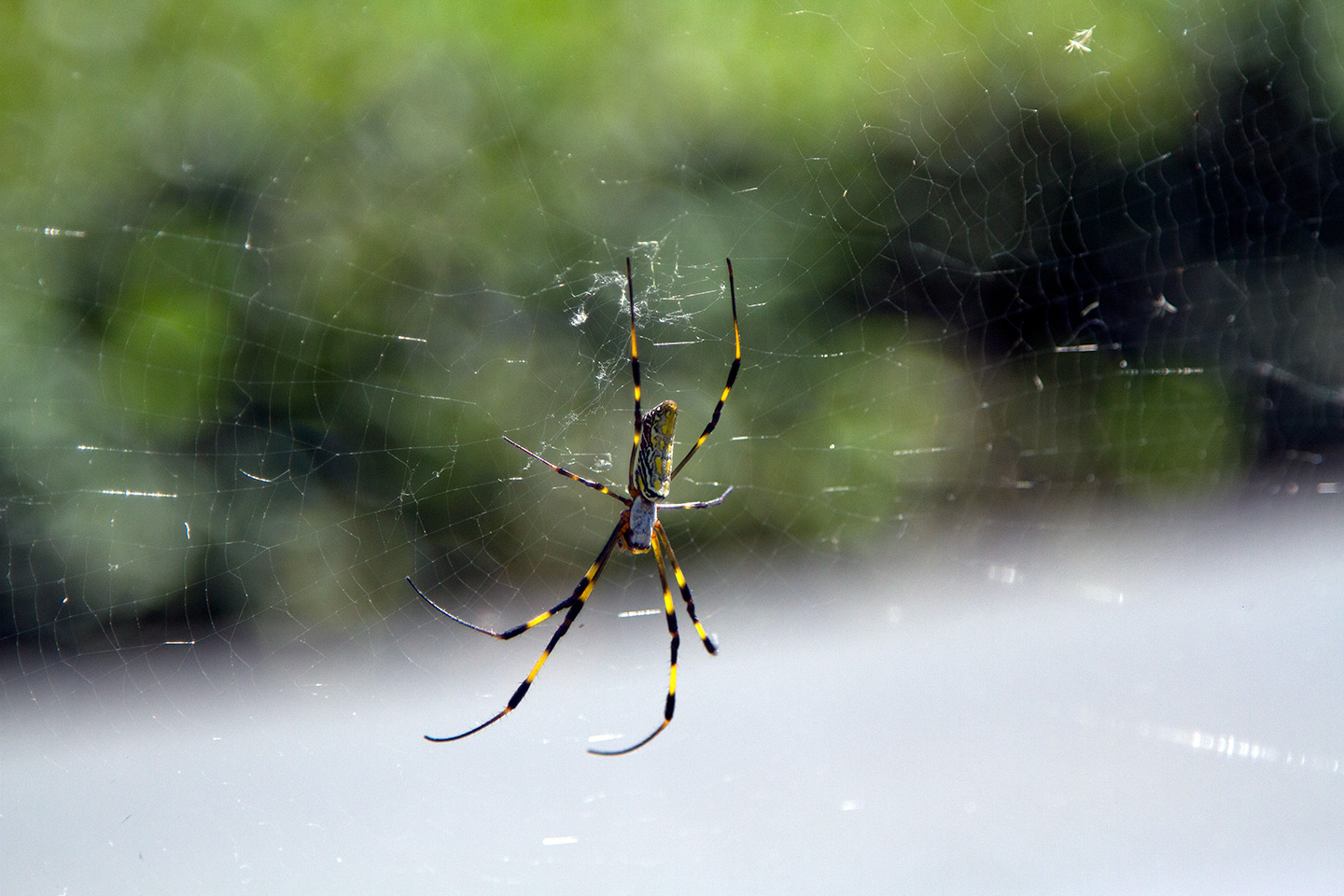 Japanese spider perched on web