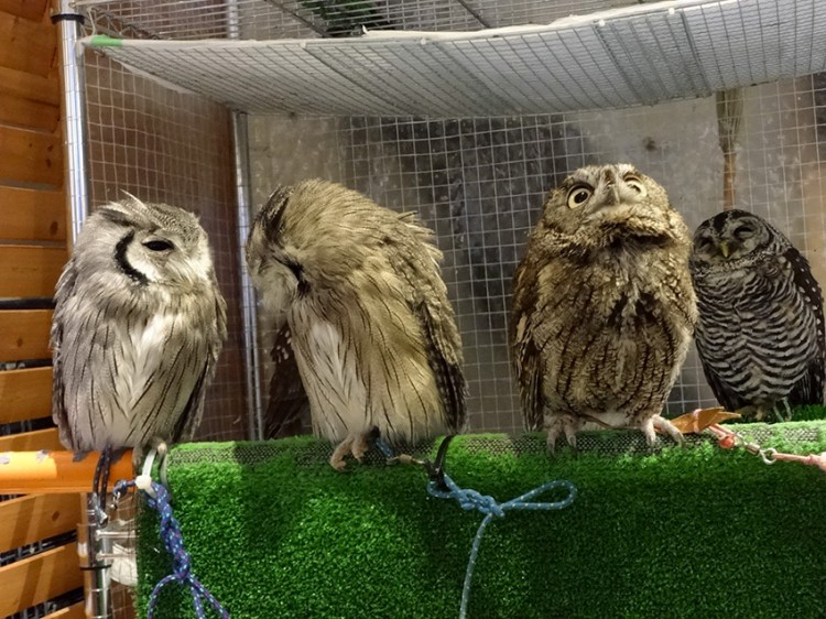owls of different species in a line at owl cafe