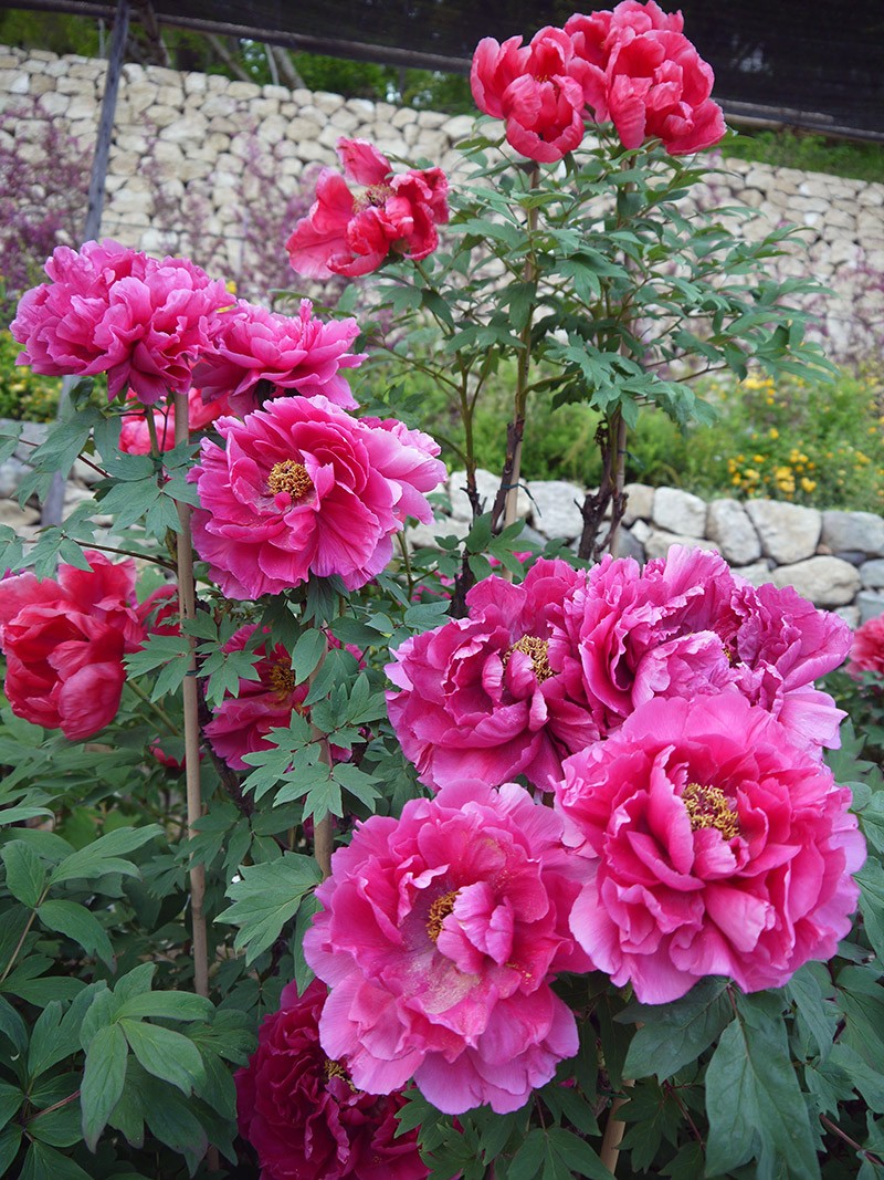 pink flowers peonies growing in japan