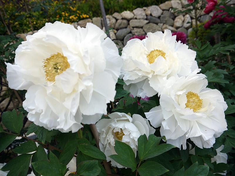 white flowers roses peonies