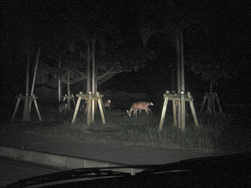 kerama deer eats grass at night on aka island