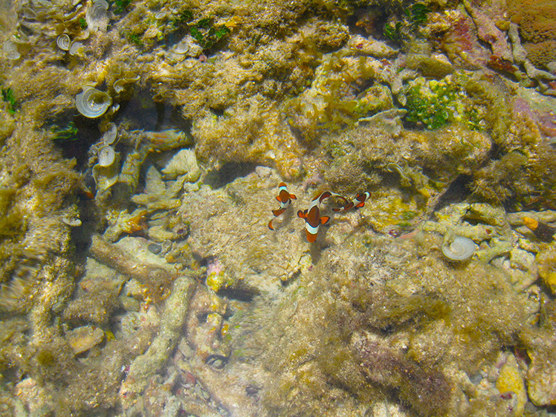 view from above of swimming clown fish family