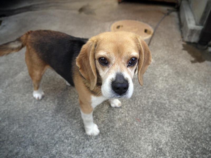 The same young beagle