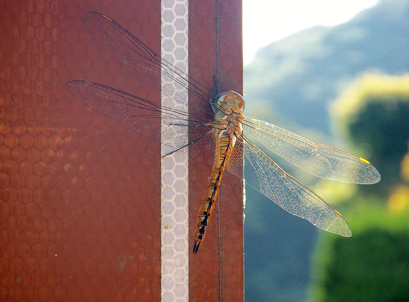 dragonfly in japan