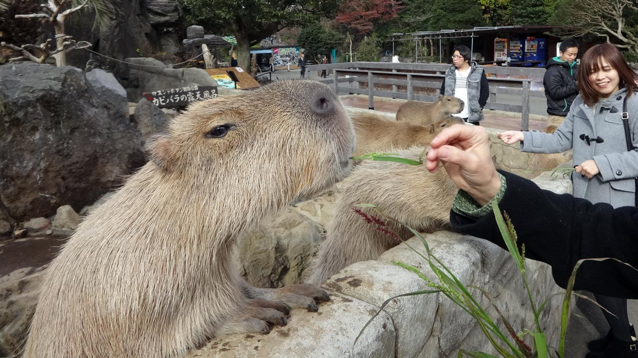 capybara eating at izu shaboten park