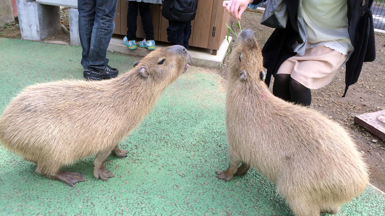 some capybara eating at izu shaboten park