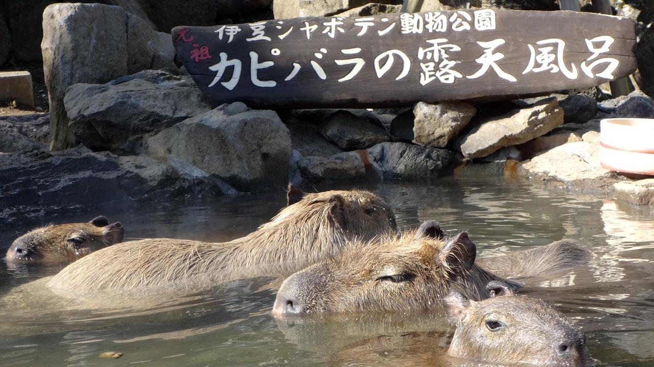 izu shaboten park onsen with capybara