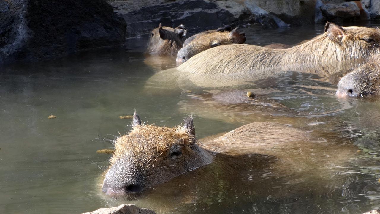 capybara swimming around in a hot spring