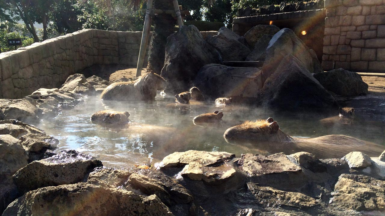 capybara bathing in a japanese hot spring