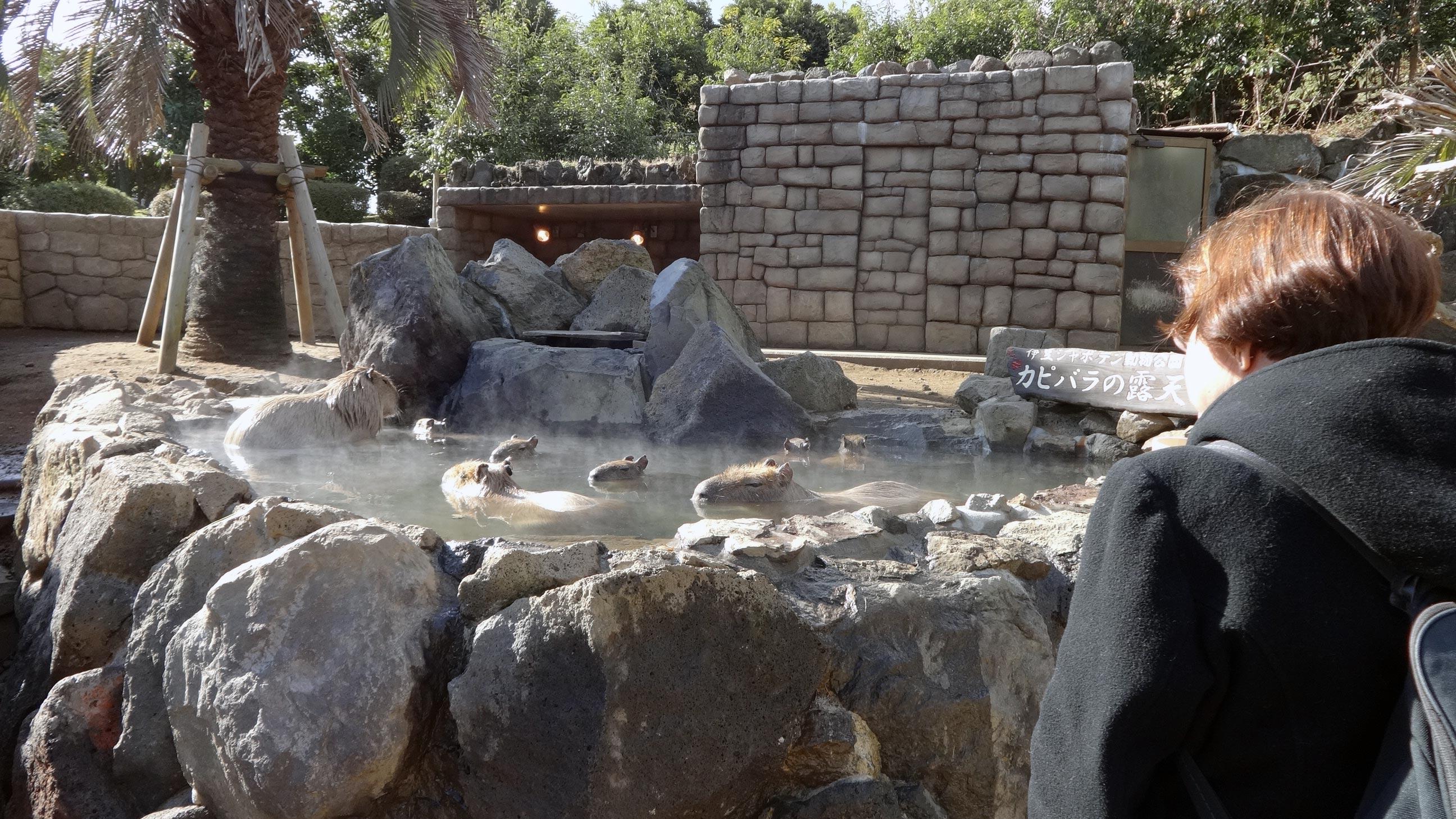 izu shaboten zoo hot springs filled with capybara