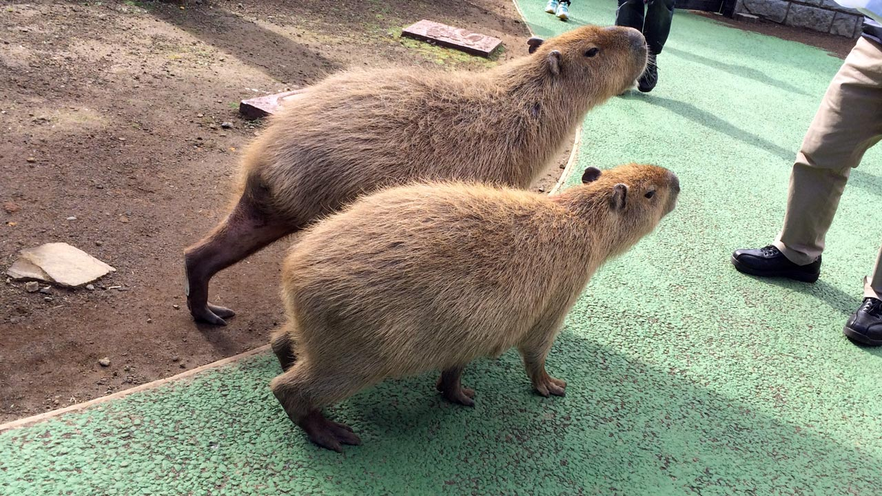 two capybara at a Japanese zoo