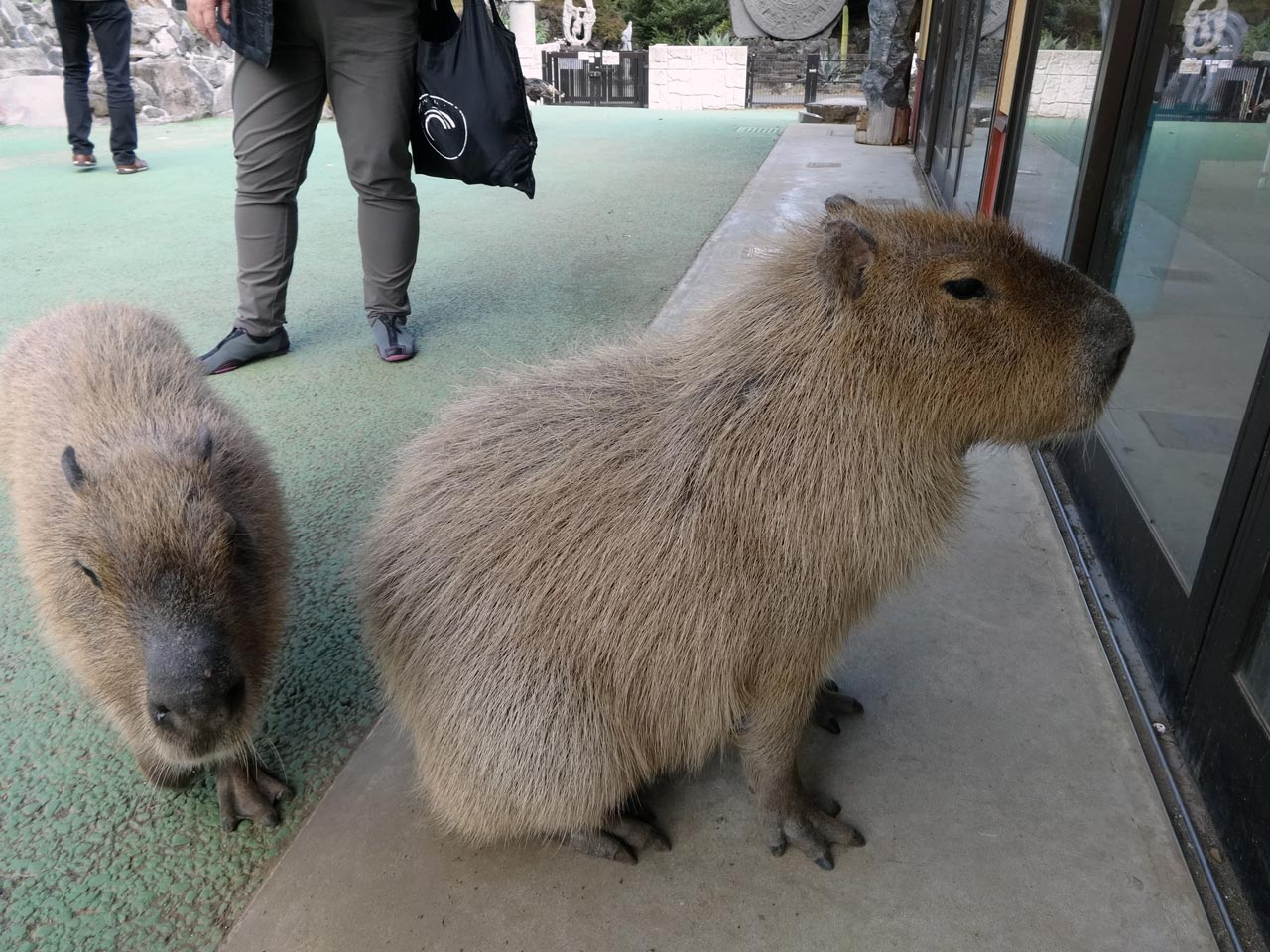 two capybara wiating by a door