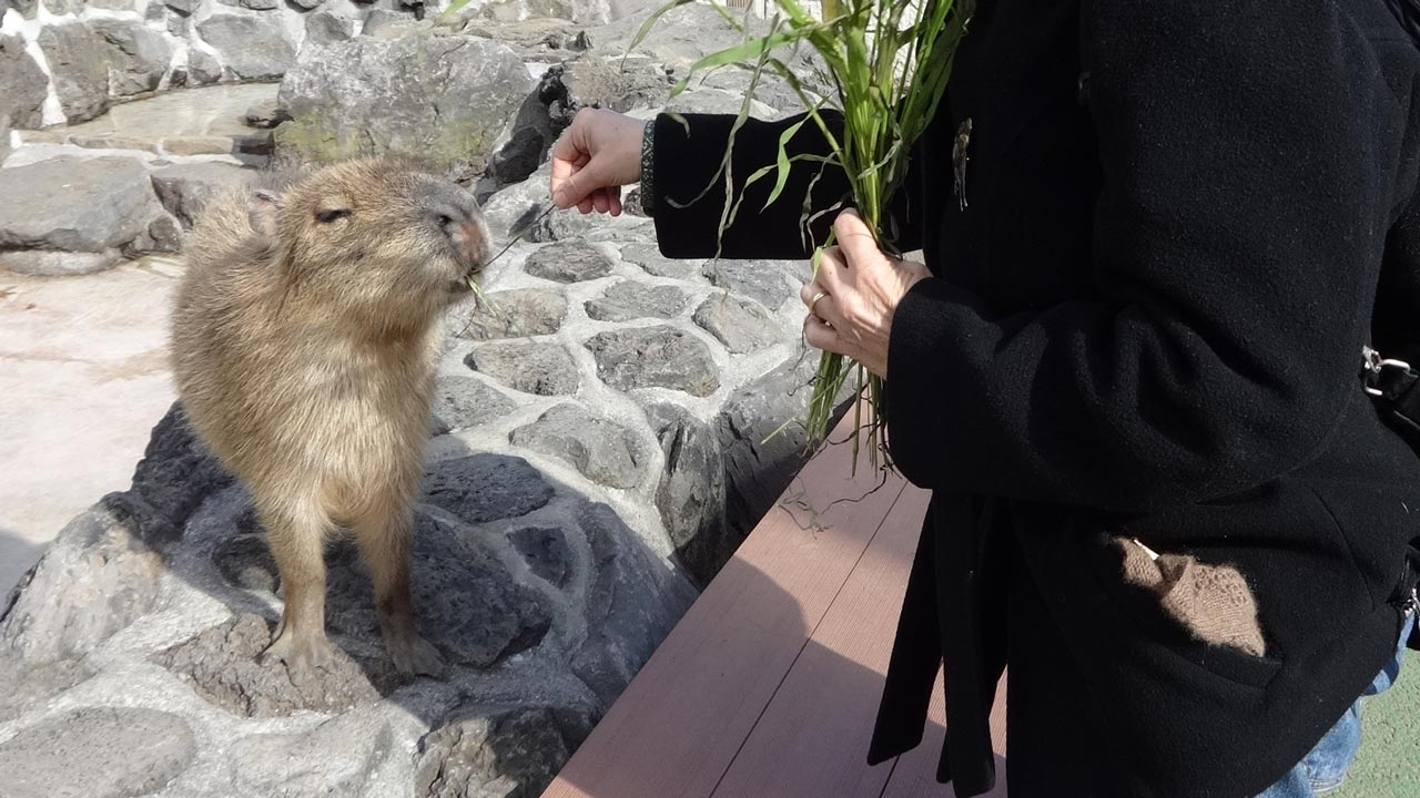 woman feeding a baby capybara