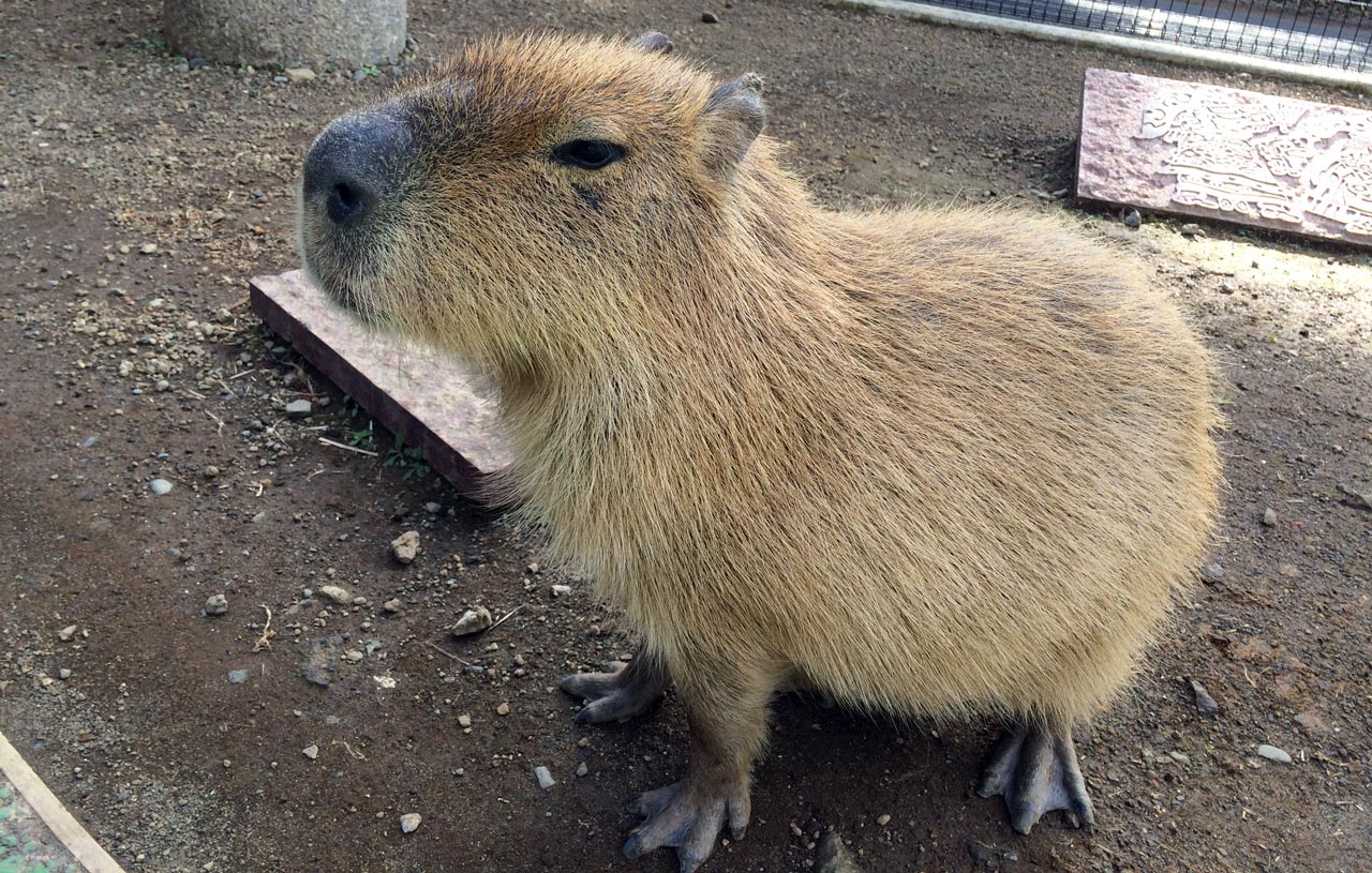 one capybara sitting alone