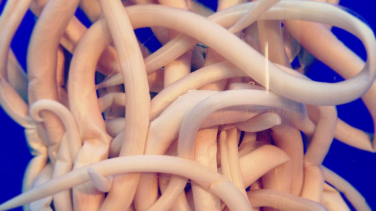 parasites that look like udon